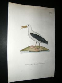 Shaw C1800's Antique Hand Col Bird Print. Wandering Albatross. New Zealand